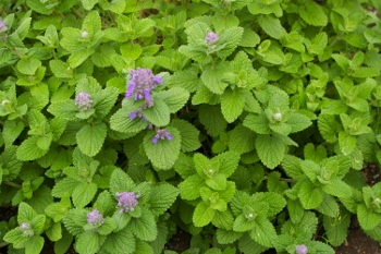 Nepeta cataria  Citriodora