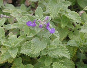 Nepeta racemosa  Little Titch
