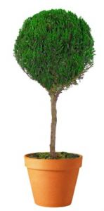 Preserved Single Ball Topiary 30 inch