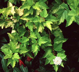 Physocarpus  Morning Star