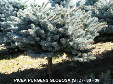 Picea Pungens Globosa (Std) 30 to 36 inches Tall