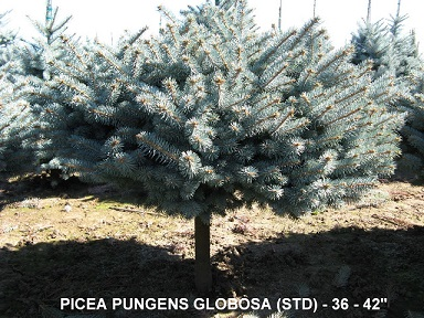 Picea Pungens Globosa (Std) 36 to 42 inches