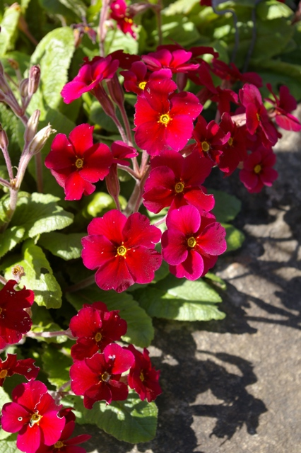 Primula  Cowichan Red