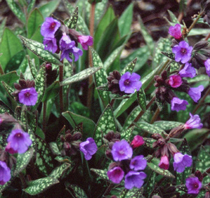 Pulmonaria  Little Star