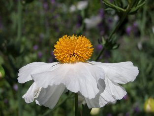 Romneya coulteri  Butterfly