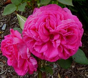 Rosa  Deuil du Dr and  Reynaud