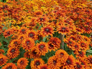 Rudbeckia hirta   Joy Creek Select