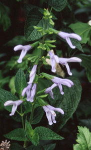 Salvia guaranitica  Argentine Skies