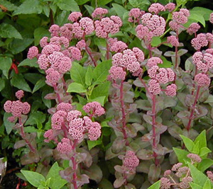 Sedum  Cherry Haze