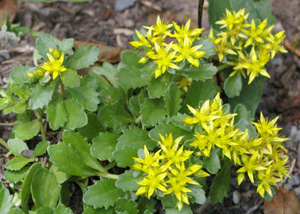 Sedum kamtschaticum var and  floriferum  Weihenstephaner Gold