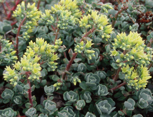 Sedum oregonense (Form 1)