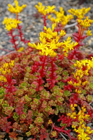 Sedum spathulifolium subsp and  yosemitense  Red Raver