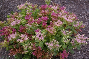 Sedum spurium  Dr and  John Creech