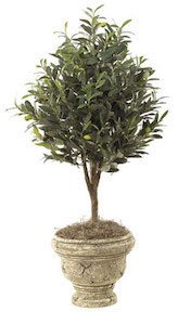 36 Inch  Olive Tree