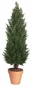 6 Foot Cypress Tree