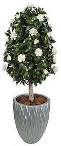 4 and 5 Foot Gardenia Topiary