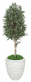5 Foot Olive Tree Topiary