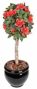 3 and 5 Foot  Hibiscus Ball Topiary