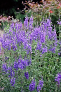 Veronica austriaca ssp and  teucrium